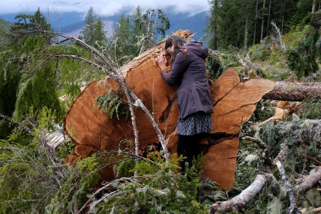 Scientist analyzing stump of ancient tree in British Columbia